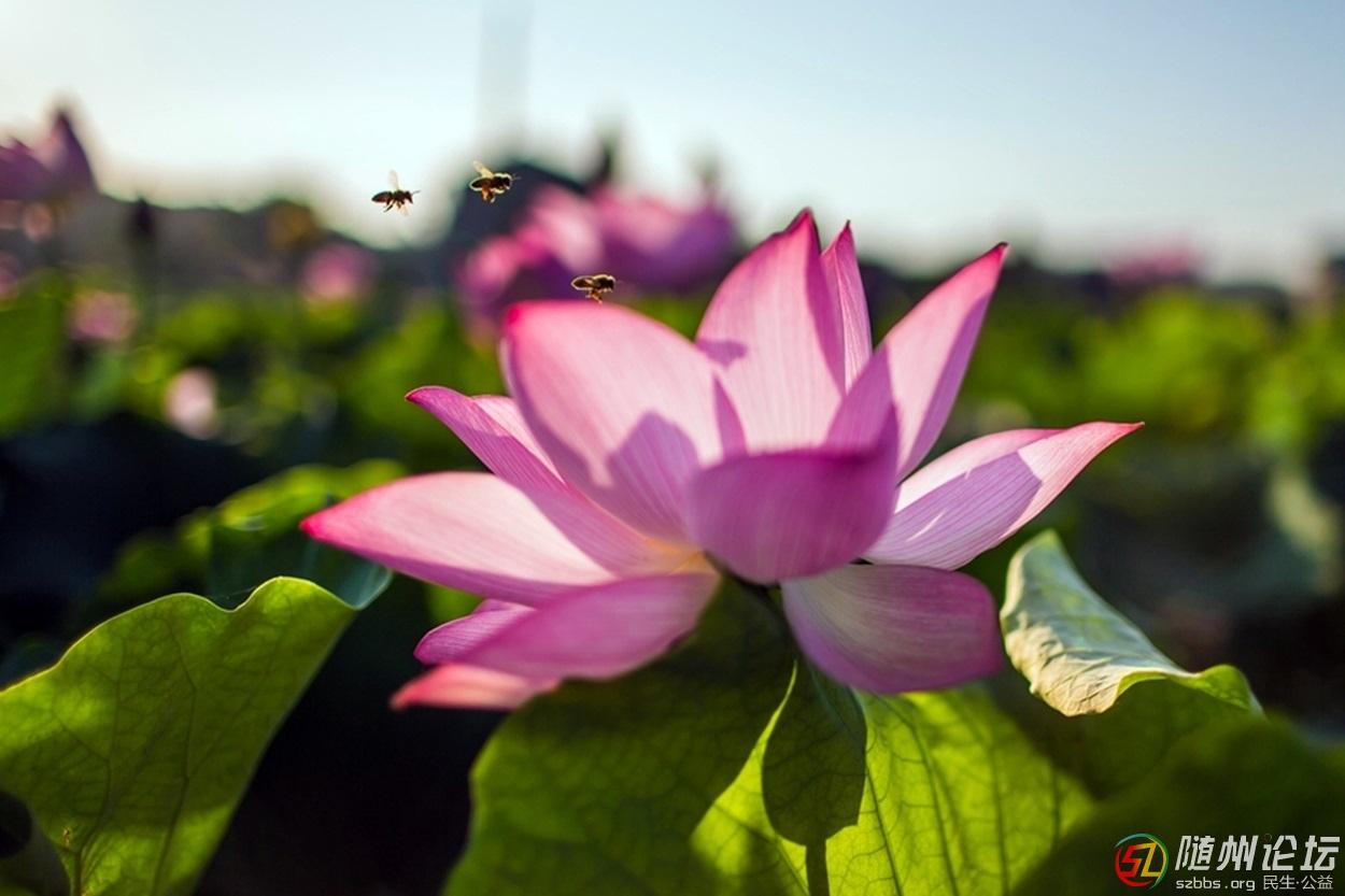 蜜蜂与荷花0.jpg