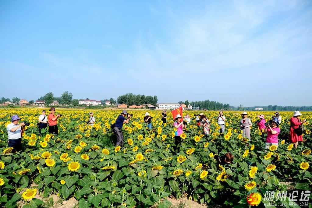 1、向日葵花开迎来一批又一批的火热的旅游潮 作者:韩铁流.jpg
